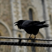 Raven queen vanishes, and Britain fears prophecy of doom will come true
