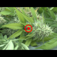 Japan's cannabis related arrests hit record high in 2019 | NIPPON TV NEWS 24 JAPAN