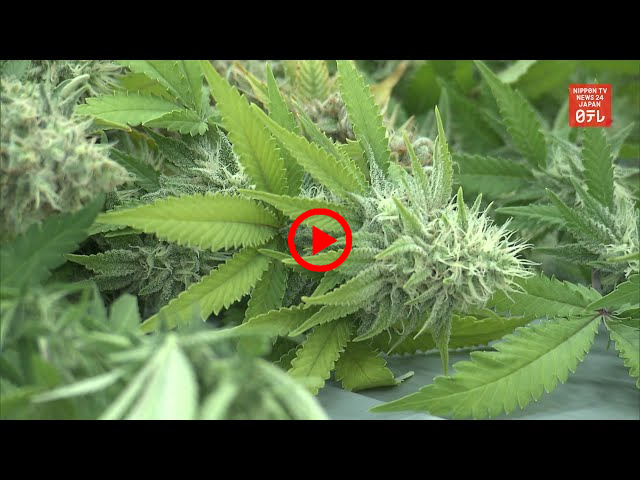 Japan's cannabis related arrests hit record high in 2019 (April 2020) | NIPPON TV NEWS 24 JAPAN