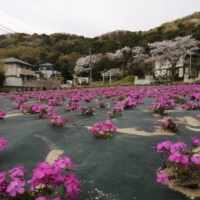 Moss phlox  flowers in full bloom | CITY OF TSUKUBA