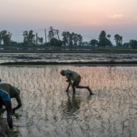 Farmhands sow rice saplings at a flooded field in Haryana in June. Government support for the crop helped turn India into the world's biggest rice exporter, despite the water-intensive demands of the grain.  | BLOOMBERG