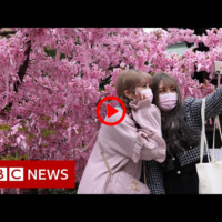 Japanese cherry blossom festival hit by COVID restrictions  | BBC NEWS