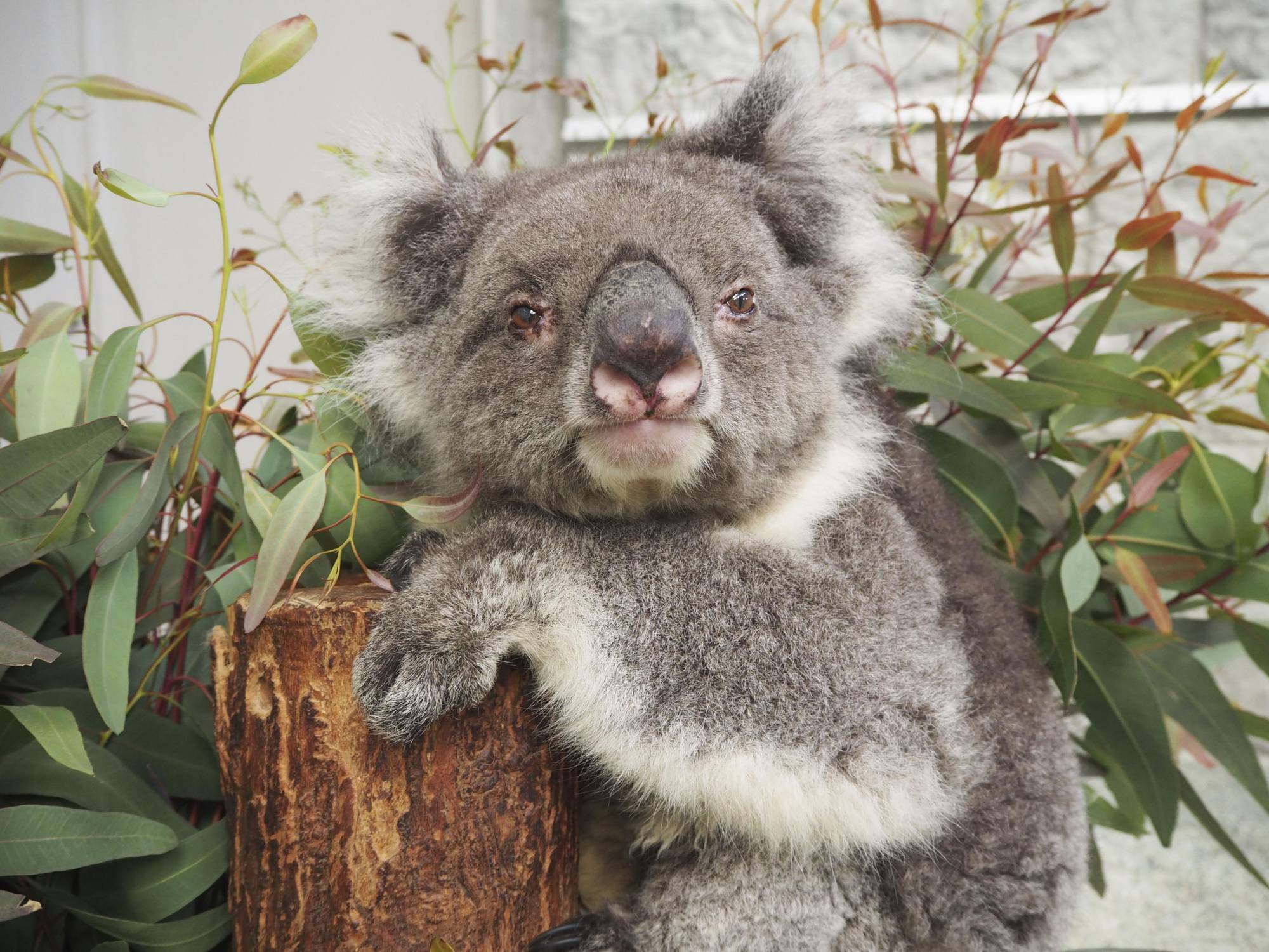Midori, a 24-year-old female koala recognized by Guinness World Records as the world's oldest ever to be held in captivity, at a zoo in Hyogo Prefecture on Monday   AWAJI FARM PARK ENGLAND HILL / VIA KYODO