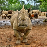 Emma, a southern white five-year-old female rhino, stands in front of other rhinos before her travel from Taiwan to Japan for breeding, on Tuesday. | AFP-JIJI