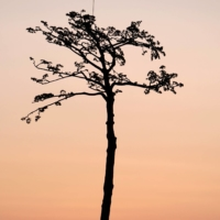 The 'Miracle Pine,' a lone tree that survived in a coastal forest flattened by the deadly tsunami 10 years ago, in Rikuzentakata, Iwate Prefecture, on Thursday | KYODO