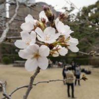 A cherry tree in bloom at Shukkeien Garden in Hiroshima on Thursday | KYODO