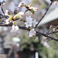 Cherry blossoms again start blooming early in Tokyo