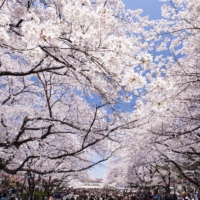 There's more to hanami than cherry blossoms