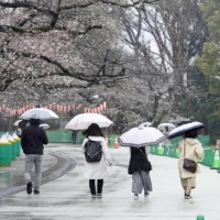 People enjoy the cherry blossoms at Tokyo's Ueno Park amid heavy rain on Sunday ahead of the lifting of the coronavirus state of emergency. | KYODO