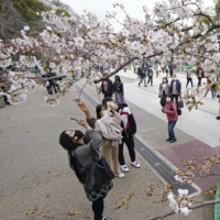 Virus emergency ends, but cherry blossom party restrictions stay