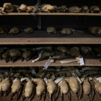 Hundreds of bat taxidermy specimens from the Rabor Wildlife Collection are maintained at The Institute of Biological Sciences at the University of Los Banos. | REUTERS