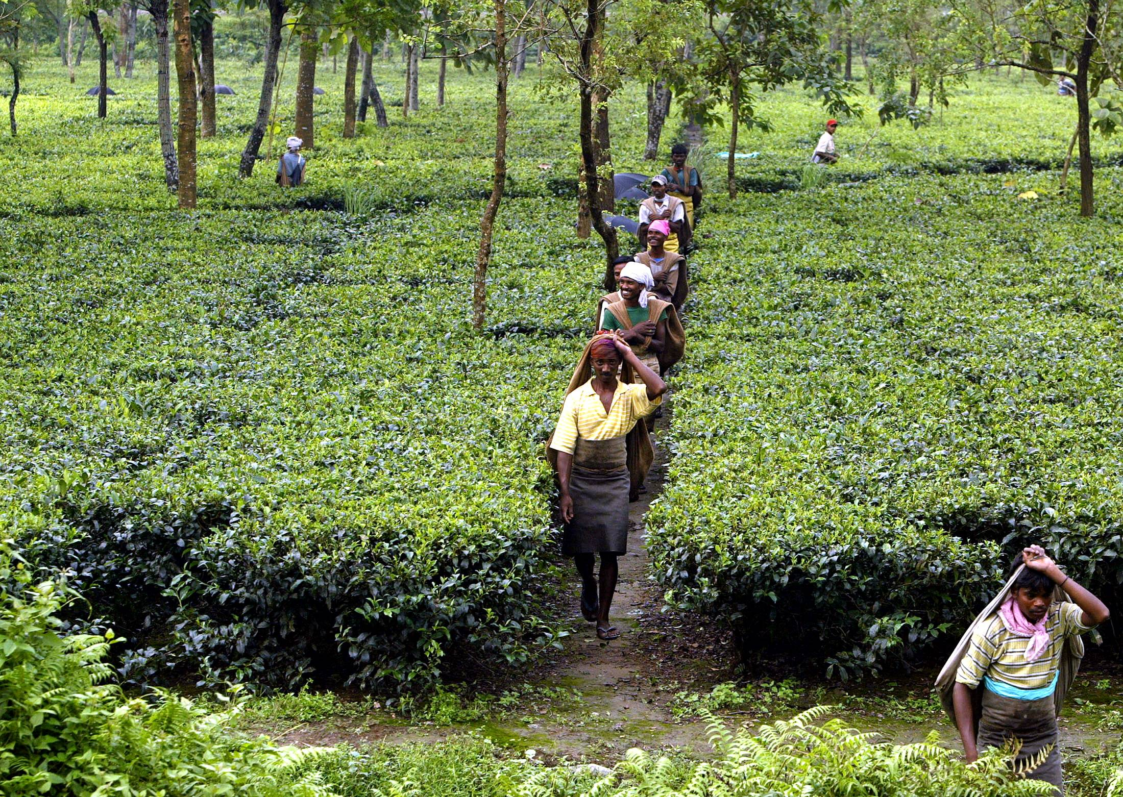 Indian tea pickers arrive for work at a tea estate in the northeastern Indian state of West Bengal.  | REUTERS