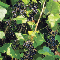 NZ Blackcurrant berries grown on trees 3 feet high