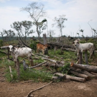 Cows graze in a deforested pasture on the Yari plains | REUTERS