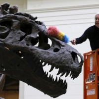 A man uses a feather duster to clean the skeleton of a Tyrannosaurus rex known as 'Sue' at The Field Museum in Chicago in June 2015.  | REUTERS