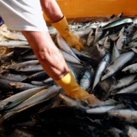 Japan to cut 2021 saury catch quota to record low