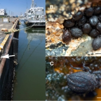 Clockwise from left: A fishing port in Choshi, Chiba Prefecture; a colony of Ameronothrus twitter mites; an original photo of the mites shared on Twitter by Takamasa Nemoto. | COURTESY OF SATOSHI SHIMANO AND TAKAMASA NEMOTO / VIA KYODO