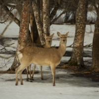 In 2018, wild deer were responsible for ¥5.4 billion in economic damage.    GETTY IMAGES