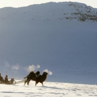 Tuvan shepherds travel on a sledge harnessed with an Asian two-humped camel in southern Siberia.  | REUTERS