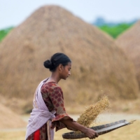 Rice is keeping world's food crisis from getting worse