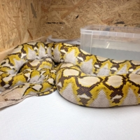 Two-week snake search comes to end: Python found in Yokohama