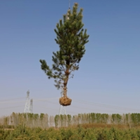 A tree is lifted with a crane before being placed on a truck at the Toudunying state-owned commercial forest estate in a village near the edge of the Gobi desert, on the outskirts of Wuwei, Gansu province, China. | REUTERS