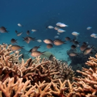 A school of fish swim above a staghorn coral colony on the Great Barrier Reef off Australia. In South Caicos, researchers have reported a 62% loss of live hard coral coverage at three long-term research sites since stony coral tissue loss disease was first detected there in 2019.    REUTERS