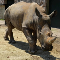 Looking for love, a white rhino named Emma lands in Japan