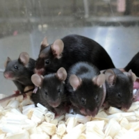 'Space pups': Mouse sperm stored on ISS produces healthy young, Japanese study finds