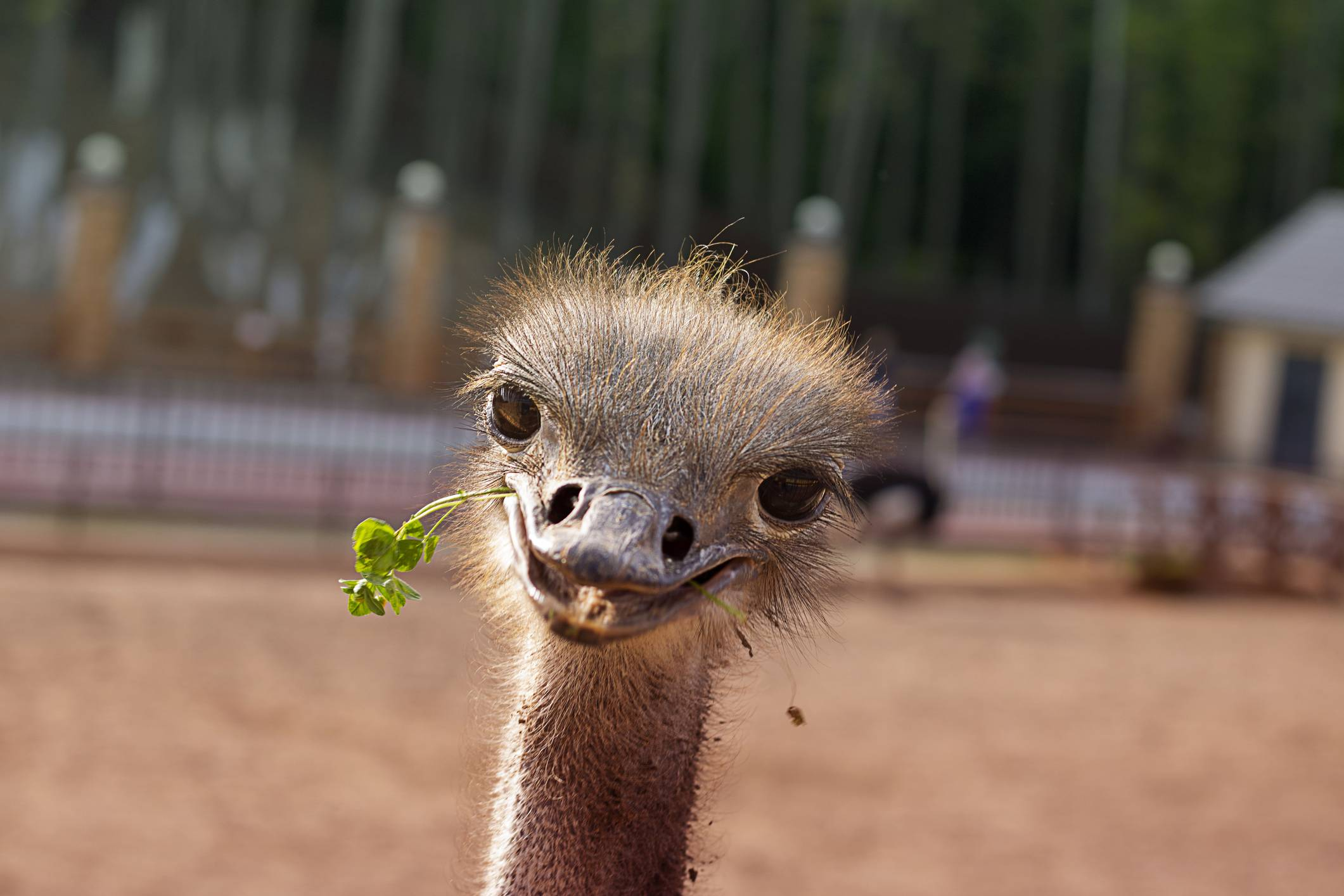 Yasuhiro Tsukamoto loves animals. It was insects at first, then birds. He wound up taking solace at an ostrich farm in Kobe.    GETTY IMAGES