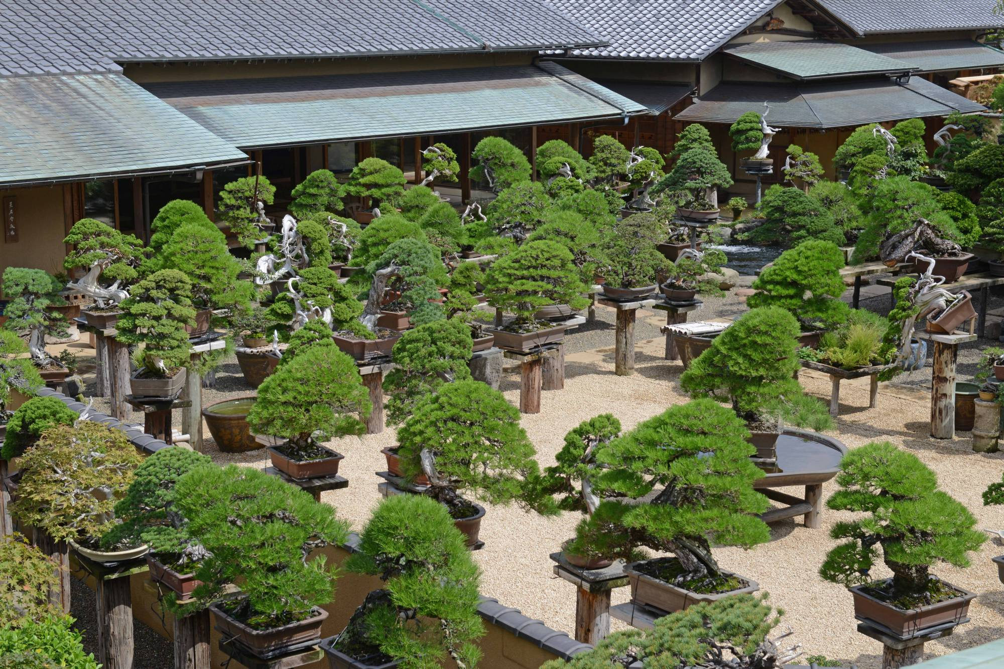 Basics Of Bonsai How Miniature Trees From Asia Have Transcended Frontiers The Japan Times
