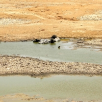 Buffalo lie down in the receding waters of a lake to cool themselves off on a hot summer day in 2019 near Ajmer, Rajasthan, as temperatures passed 50 degrees Celsius in northern India. | AFP-JIJI