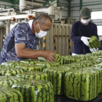 Annual shipment of inedible square melons gets underway in western Japan