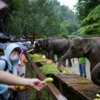 Tourists feed tamed elephants at the Wild Elephant Valley in Yunnan Province, China, on July 6.  | REUTERS