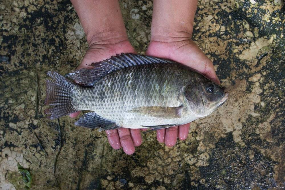 Pla nil, or Tilapia nilotica, has become versatile and important source of protein in Thailand. It is also known as the mouthbrooder. | DEPARTMENT OF FISHERIES, THAILAND