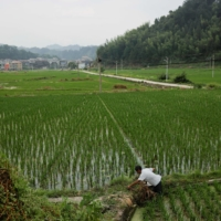 A farmer tends to his rice field in the village of Yangchao in China's Guizhou province.  | REUTERS