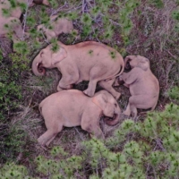 A migrating herd of wild Asian elephants sleeps in southwest China's Yunnan province in June.  | YUNNAN FOREST BRIGADE / AFP