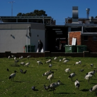 A man wearing a face mask and carrying shopping bags walks past congregating birds during a lockdown to curb the spread of COVID-19 in the Canterbury-Bankstown area of southwest Sydney on Aug. 4.   REUTERS