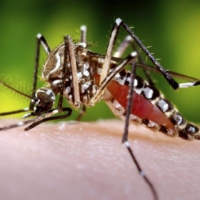 A female Aedes aegypti mosquito dining on a human host, who happens to be the photographer | JAMES GATHANY