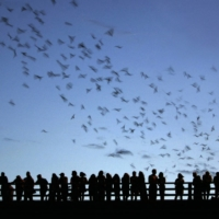 A colony of Mexican free-tailed bats in Austin, Texas   AFP-JIJI