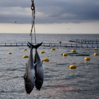 Atlantic bluefin tuna have leapt from 'endangered' across three categories to the safe zone of 'least concern' in an update of the wildlife Red List.  | AFP-JIJI