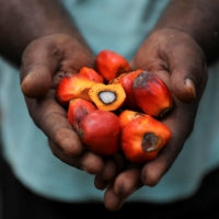 A worker holds palm oil fruits at a plantation in Slim River, Malaysia.    REUTERS