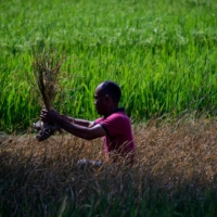 A man checks his rice paddy crop, which was damaged due to drought, in Indonesia's Aceh province in March.  | AFP-JIJI