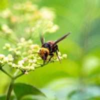 More 'murder hornets' are on the loose in Washington state