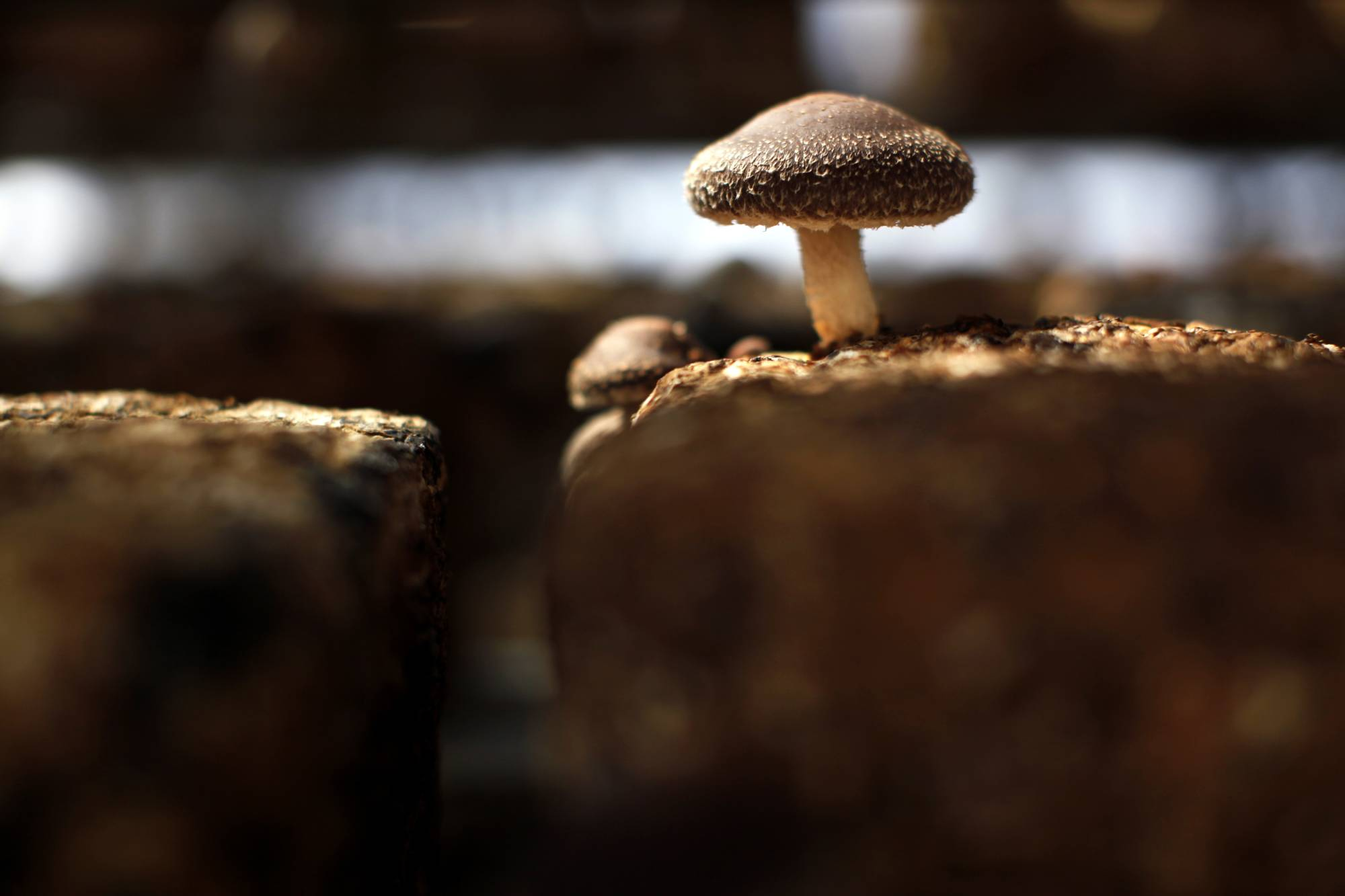 While the export of Japanese cultivated mushrooms to the EU will be permitted, wild mushrooms will still be subject to restrictions.   REUTERS