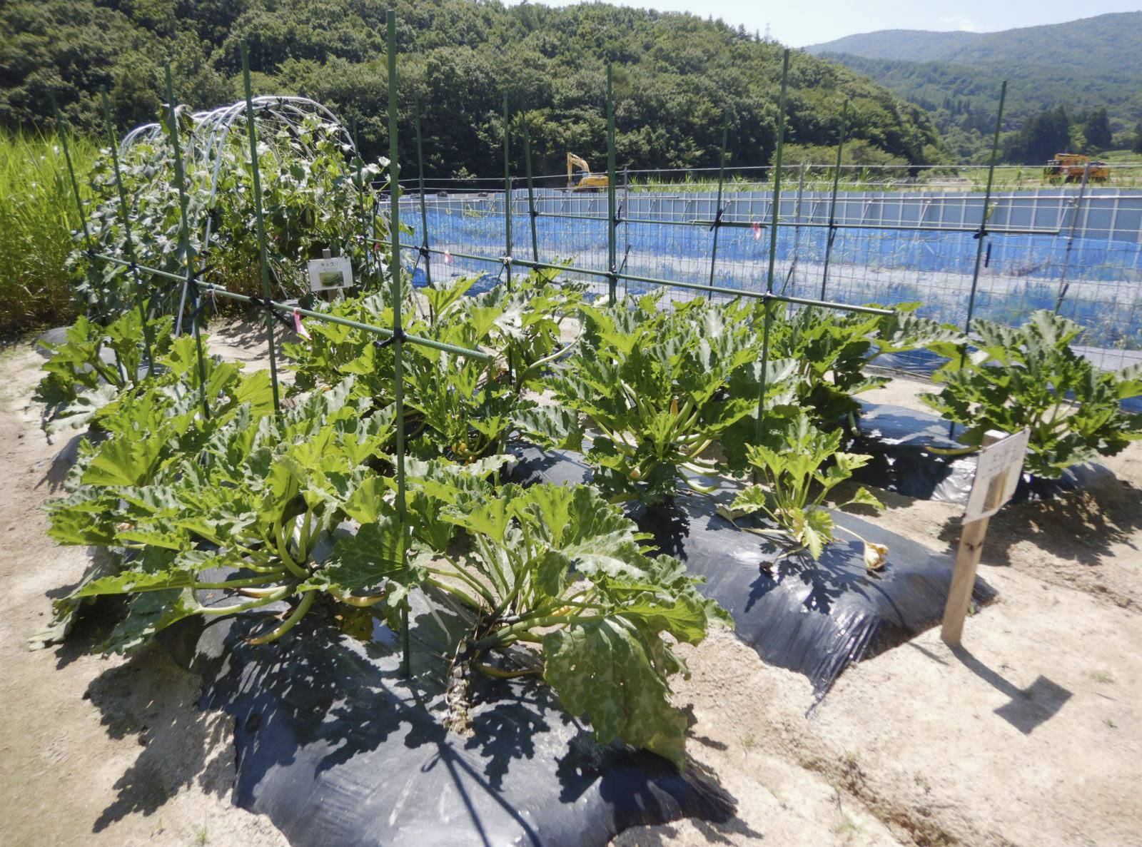 A trial cultivation of vegetables is carried out in the Nagadoro district of Iitate, Fukushima Prefecture, in August. | ENVIRONMENT MINISTRY / VIA KYODO