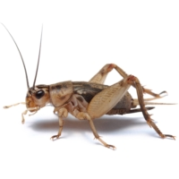 Crickets are seen as having a smaller environmental footprint than other forms of animal-based food.   GETTY IMAGES