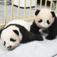 The twin giant pandas born at Tokyo's Ueno Zoological Gardens were named Xiao Xiao (left) and Lei Lei Friday.   UENO ZOOLOGICAL GARDENS / VIA KYODO
