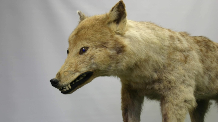 A stuffed specimen of the Japanese wolf stored at the University of Tokyo's Faculty of Agricuiture